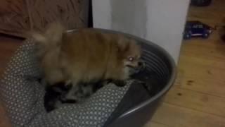 Собака шпилит кота