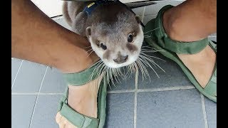 Shy Otter Aty [Otter life Day 139] シャイボーイアティ