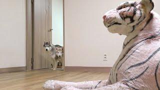 산책 다녀왔는데 집에 호랑이가 기다리고 있었다 / Siberian Husky