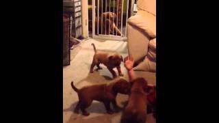 "Dogue De Bordeaux Puppies 6 Weeks ""we Got Teeth!"""