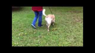 Mylo Rescued Male Yellow Labrador Retriever