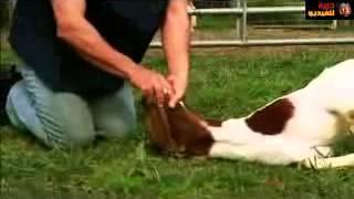 طريقة ذبح الخروف الطريقة الصحيحه / Method of slaughter sheep right way
