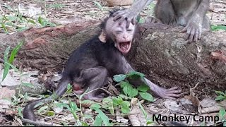 Baby Monkey Cry Because Of His Mom Baby Monkey Consolation To The Small Baby Monkey Don T Cry