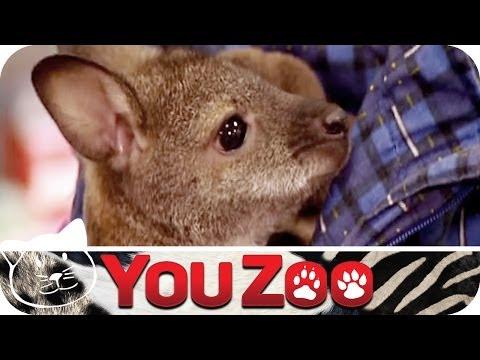 Baby Känguru als Haustier I Haustiertest I Känguru als Haustier