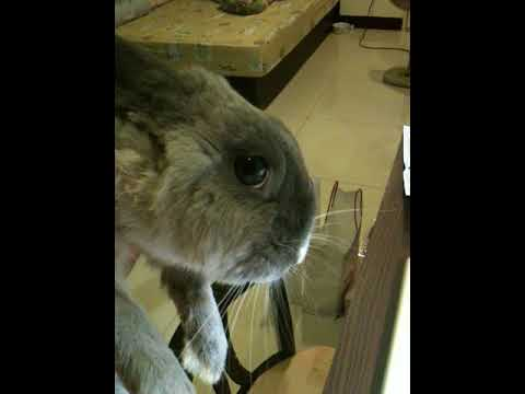 what causes wry neck in rabbits
