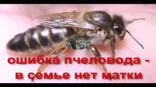 ошибки пчеловода  - в семье пчел нет матки, что делать