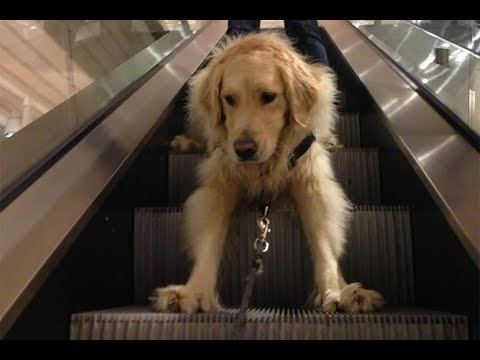 Funny Video Escalator Fails - Funny Dogs on Escalators Compilation (2019)