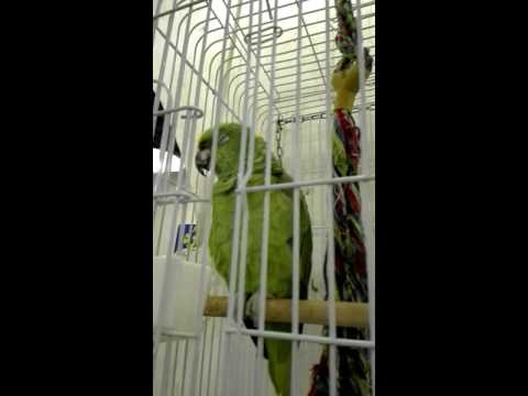 Speaking Birds at Arab Market in Qatar[ Parrot]