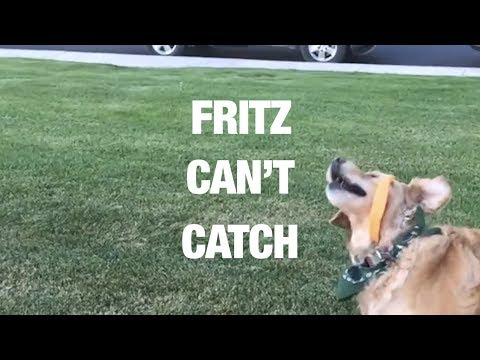 Hilarious Golden Retriever Can't Catch Food - Compilation 2017