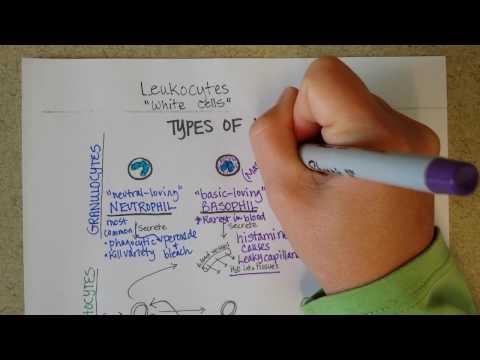 White Blood Cells -- Granulocytes