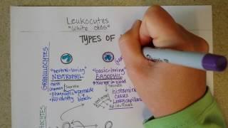 White Blood Cells -- Granulocytes & Lymphocytes - Part 1