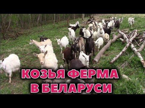 Козья ферма в Витебске, Могилеве, Минске, Гомеле, Бресте, Гродно