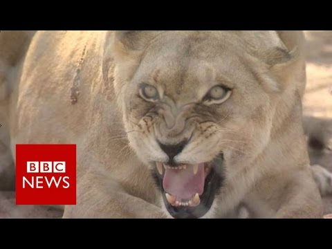 Are People Hunting 'canned Lions' In South Africa? BBC News