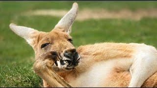 [호주이야기] 캥거루-코알라 이야기//Funny Kangaroo & Koala Doing Funny Things! Hilarious!