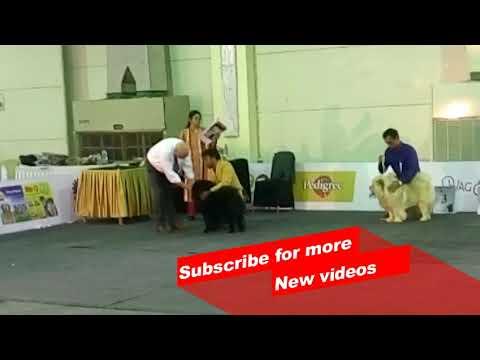 Wow ! Most Amazing dog breeds | Bangalore championship dog Show | Chow chow |
