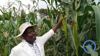 Maseno University produce maize seeds resistant to striga weeds
