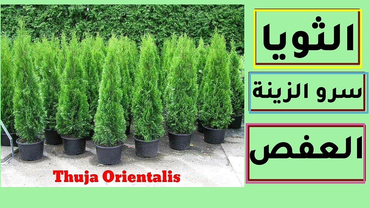 نبات الثويا العفص الشرقي سرو الزينة Thuja Orientalis كيف تعتني به Youtube