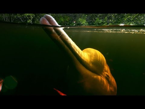 Pink River Dolphins Of The Amazon Rainforest's Hunting Secret | Earth's Great Rivers |  BBC Earth
