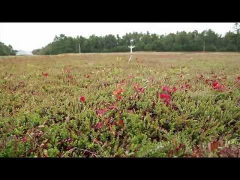 The Cranberry Harvest Experience