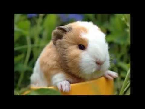 hamsters vs guinea pigs youtube. Black Bedroom Furniture Sets. Home Design Ideas