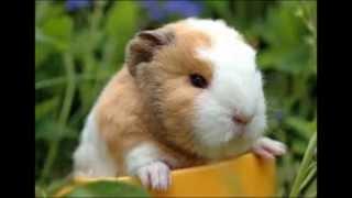 Hamsters .vs. Guinea Pigs