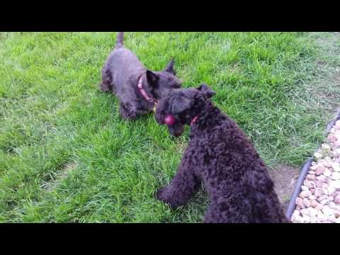 Kerry Blue Terrier VS. Scottish Terrier - Battle of the Stick - The Terrier Wars