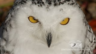 Rescued but Angry Snowy Owl !  Harfang fâché !