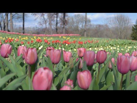 kelly - U-Pick Tulips Here In The Triad