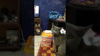 Реакция моей кошки на видео про реакцию кота на кошачий разговорник