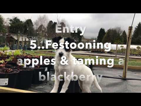 Garden Diaries 5....Festooning apples & taming a blackberry