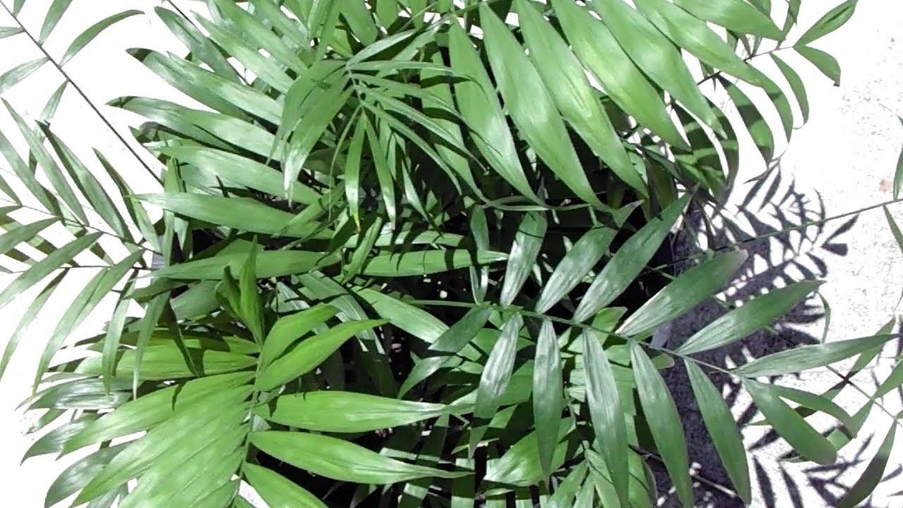 palmier de montagne