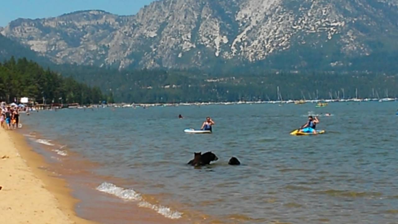 Mother bear and her cubs on the beach Pope Beach Lake Tahoe. (II)