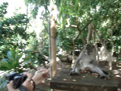 apprivoiser un singe a bali