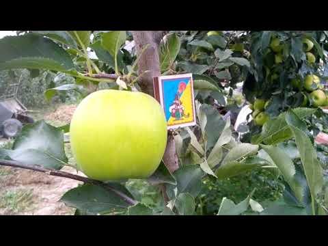 Яблуня Мутсу.