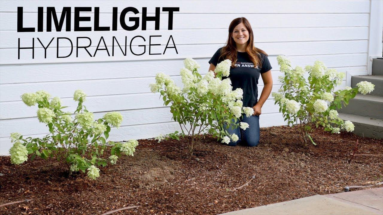 Limelight Hydrangea Garden Answer Youtube