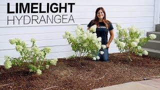 Limelight Hydrangea // Garden Answer
