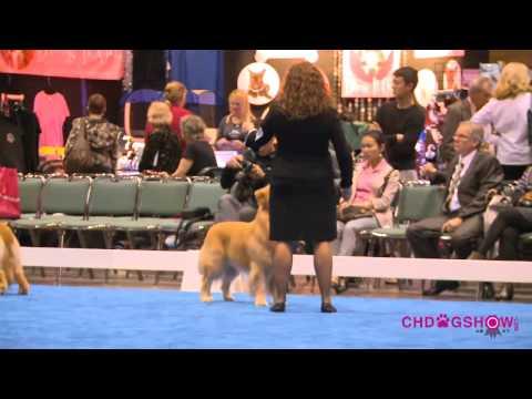 HD 2012Eukanuba dog show Golden Retriever BOB