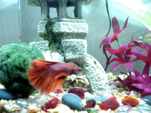 Halfmoon male betta marimo moss ball youtube for Betta fish moss ball