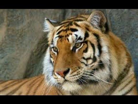 Bengal tiger wild mood in delhi zoo