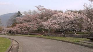 京都 4月 宝ヶ池公園 北園 Cherry Blossoms in Takaragaike Park(2014-04)