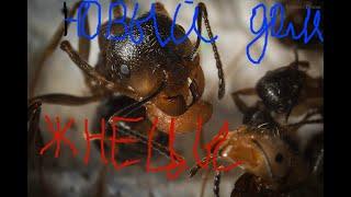 Мyравьи жнецы/Messor Structor/заселение в формикарий/новые домашние питомцы / Видео