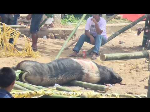 Mangrara Tongkonan Rantepao Doan ( Pong Paku Barani ) di Mebali