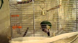 Conure parrot unlocks his cage Попугайчик открывает клетку