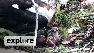 Osprey Babies First Moments, Osprey Babies Debut thumbnail