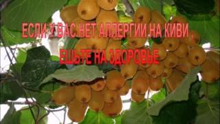 Киви - фрукт для похудения.