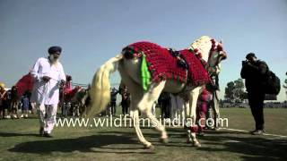 Horse made to 'dance' in Punjab - cruelty to animals or entertainment?