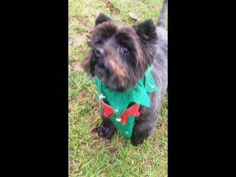 Fabulous Fergus Cairn Terrier lovely.