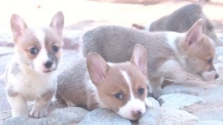 Amazing Animal Facts!: Corgis!