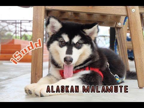 อลาสกันมาลามิวต์ (Alaskan malamute)