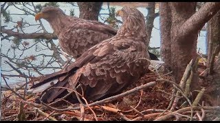 Smola Norway Eagles Nest Cam ~ Wrangling Sticks & Housekeeping For Mom 10.10.17 thumbnail